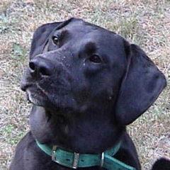RN_Dog_Labrador_Retriever.jpg