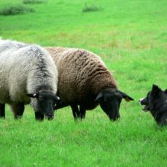 sheep-and-sheep-dog_w725_h544.jpg