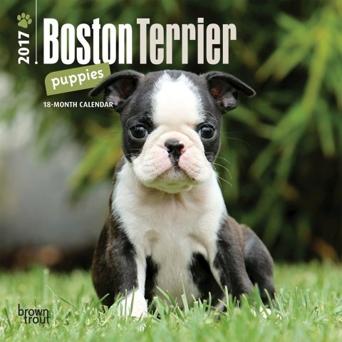 How To Find A Boston Terrier Puppy For Sale