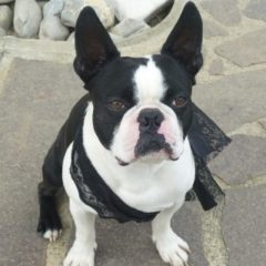 boston-terrier20105.jpg