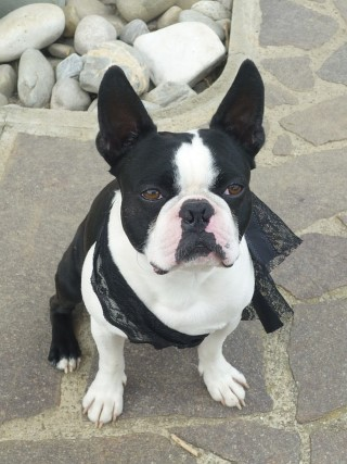 Smithville Couple Rescues Boston Terriers After Move From Florida