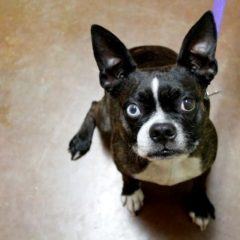 boston-terrier2011.jpg