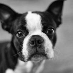 boston-terrier2012.jpg
