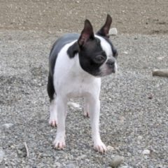boston-terrier2014.jpg