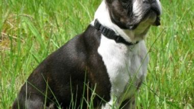 boston-terrier2016.jpg