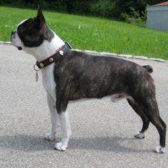 boston-terrier2027.JPG