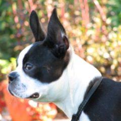 boston-terrier2035.jpg