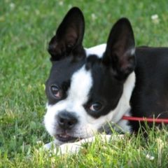 boston-terrier2037.jpg