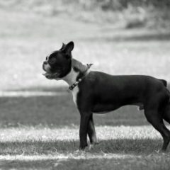 boston-terrier2042.jpg