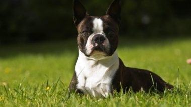 boston-terrier2063.jpg