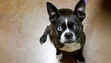 boston-terrier2064.jpg