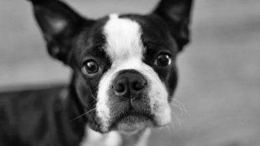 boston-terrier2065.jpg