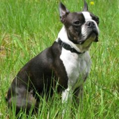 boston-terrier2069.jpg
