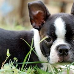 boston-terrier207.jpg