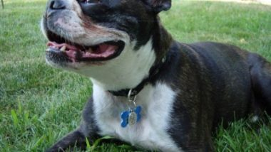 boston-terrier2091.jpg