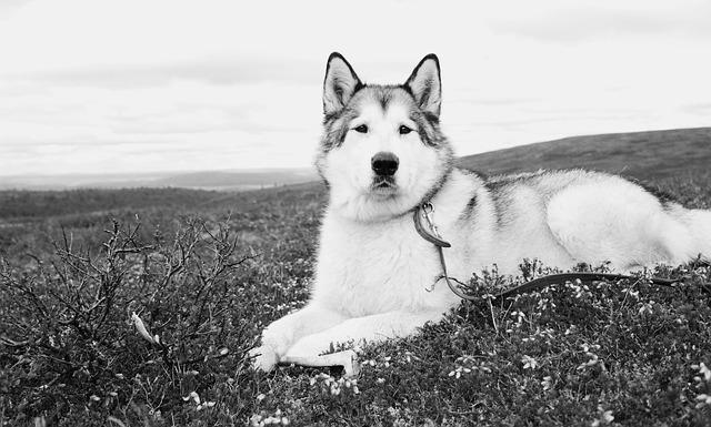 Alaskan, Malamute, Wolf, Dog, Fjeld, Lapland
