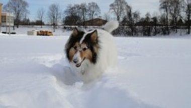 shetland-sheepdog2012.jpg