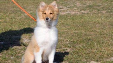 shetland-sheepdog2016.jpg