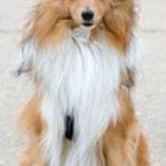shetland-sheepdog2033.jpg
