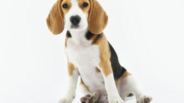 Beagle-Dog